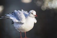 Bello uccello del gabbiano Fotografie Stock Libere da Diritti