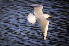 Bello uccello del gabbiano di volo Fotografie Stock Libere da Diritti