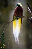Bello uccello del paradiso Immagine Stock