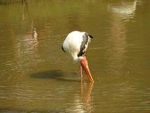 Bello uccello della gru in acqua Fotografie Stock Libere da Diritti