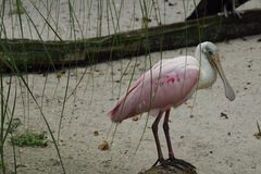 Bello uccello di spatola rosea Fotografia Stock