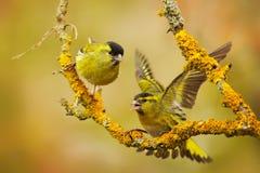 Bello uccello due sul ramo Eurasian Siskin, spinus del carduelis, sedentesi sul ramo con il lichene giallo, chiaro fondo a immagine stock libera da diritti