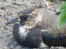 Bello, uccello fiero e libero del gabbiano grigio della steppa - fotografia stock