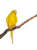 Bello uccello giallo di pappagallino ondulato Fotografie Stock