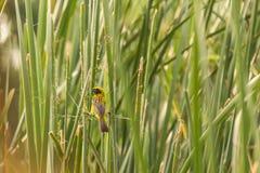 Bello uccello giallo Tessitore dorato asiatico Immagini Stock Libere da Diritti