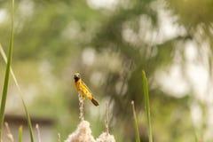 Bello uccello giallo Tessitore dorato asiatico Fotografie Stock Libere da Diritti
