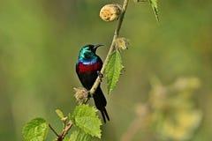 Bello uccello minuscolo e variopinto nell'habitat della natura Fotografia Stock
