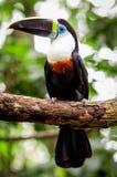 Bello uccello nero bianco rosso del tucano di verde blu Fotografia Stock