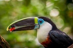 Bello uccello nero bianco rosso del tucano di verde blu Fotografie Stock Libere da Diritti