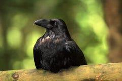 Bello uccello nero del corvo (corone di corvo) Fotografie Stock