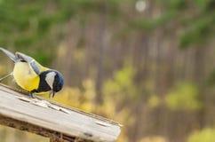 Bello uccello selvaggio con una pancia gialla nella caduta che cerca alimento nell'alimentatore Fotografie Stock