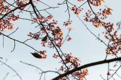 Bello uccello sul fiore del fiore di ciliegia Fotografie Stock Libere da Diritti