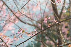 Bello uccello sul fiore del fiore di ciliegia Immagini Stock Libere da Diritti