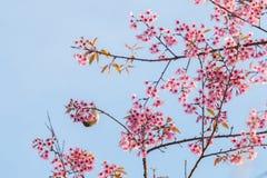 Bello uccello sul fiore del fiore di ciliegia Fotografia Stock Libera da Diritti
