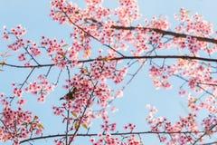 Bello uccello sul fiore del fiore di ciliegia Immagini Stock