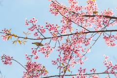 Bello uccello sul fiore del fiore di ciliegia Fotografia Stock