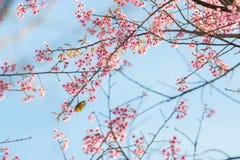 Bello uccello sul fiore del fiore di ciliegia Immagine Stock