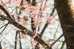 Bello uccello sul fiore del fiore di ciliegia Immagine Stock Libera da Diritti