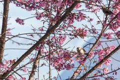 Bello uccello sul fiore del fiore di ciliegia Fotografie Stock