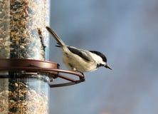 Bello uccello variopinto di Carolina Chickadee che mangia i semi da un alimentatore del seme dell'uccello durante l'estate nel Mi immagine stock libera da diritti