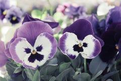 Bello, variopinto, fiori, viole del pensiero Viole del pensiero per il backgroun Fotografie Stock
