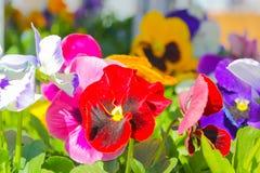 Bello, variopinto, fiori, viole del pensiero Primo piano multicolore dei fiori Fotografie Stock Libere da Diritti