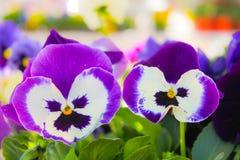 Bello, variopinto, fiori, viole del pensiero Viole del pensiero per il backgroun Fotografia Stock Libera da Diritti