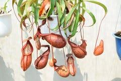 Bello vaso della pianta carnivora del lanciatore nel Vietnam Immagini Stock