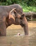 Bello vecchio elefante asiatico femminile, elephas maximus, camminante in acqua fotografie stock