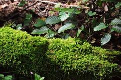Bello vecchio tronco muscoso nella foresta della repubblica Ceca Fotografia Stock Libera da Diritti