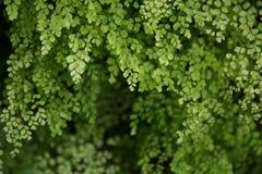Bello verde della felce Fotografia Stock
