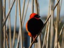Bello vescovo rosso Finch fotografie stock