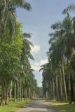 Bello vicolo della palma Fotografie Stock