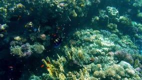 bello video 4k dei pesci che nuotano intorno ai coralli in Mar Rosso Scuola e banco degli abitanti subacquei nell'oceano video d archivio