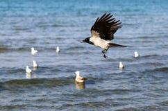 Bello volo del corvo Immagine Stock