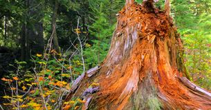 Bello Washington Autumn Nature Scenery - traccia gialla della collina dell'aster fotografie stock libere da diritti