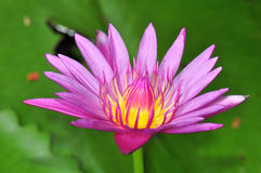 Bello waterlily immagini stock