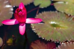 Bello waterlily o fiore di loto in stagno immagini stock