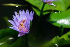 Bello waterlily o fiore di loto in stagno fotografia stock
