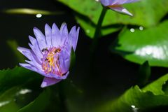 Bello waterlily o fiore di loto in stagno fotografie stock