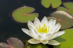 Bello waterlily o fiore di loto in stagno fotografia stock