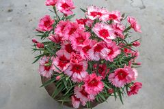 Bello William Dianthus Flowers In dolce Clay Pot fotografia stock libera da diritti