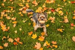 Bello Yorkshire terrier che gioca con una palla su un'erba Il cucciolo che cammina, si diverte all'aperto nella stagione di cadut fotografia stock libera da diritti