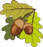 Bellotas con las hojas Imagen de archivo libre de regalías