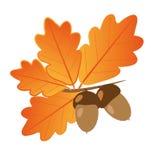 Bellotas con las hojas del roble en Autumn Isolated Objects Imagen de archivo
