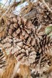 Bellotas de la sequía Imagen de archivo