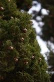 Bellotas en un árbol Foto de archivo