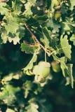 Bellotas no maduras en el árbol Foto de archivo libre de regalías
