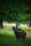 Bellow majestatycznego potężnego dorosłego czerwonego rogacza jelenia w zielonym lesie, Dyrehave, Dani zdjęcie royalty free