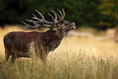 Bellow majestic powerful adult red deer stag in autumn forest, Dyrehave, Denmark Royalty Free Stock Photos